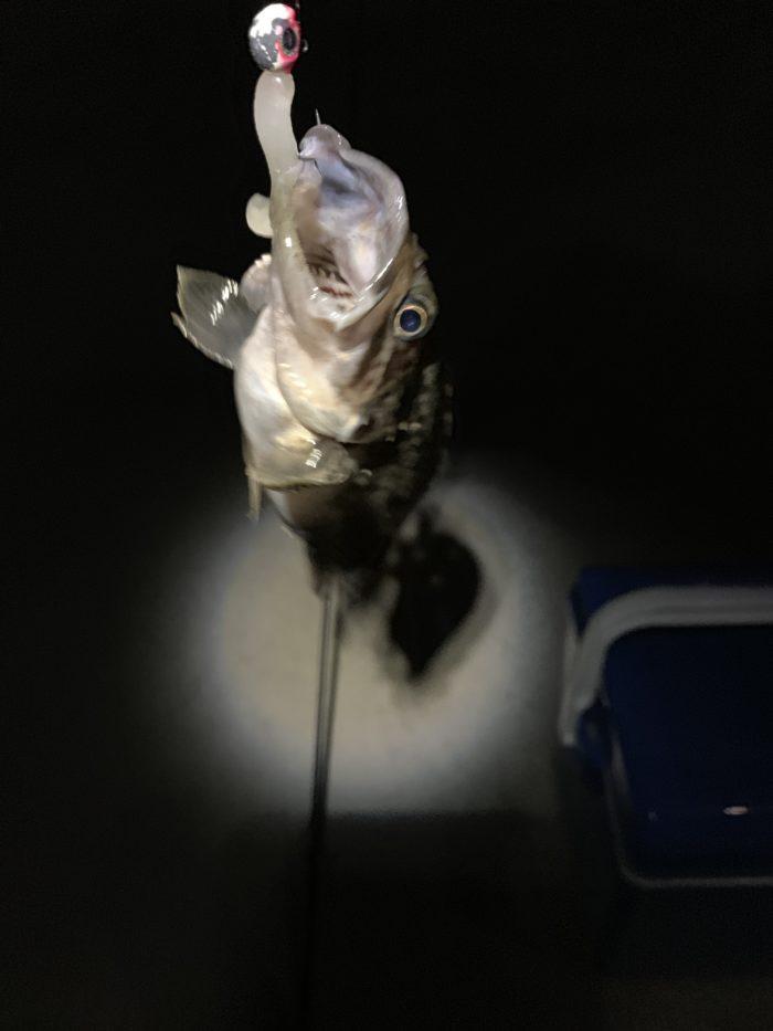 メバリング釣果