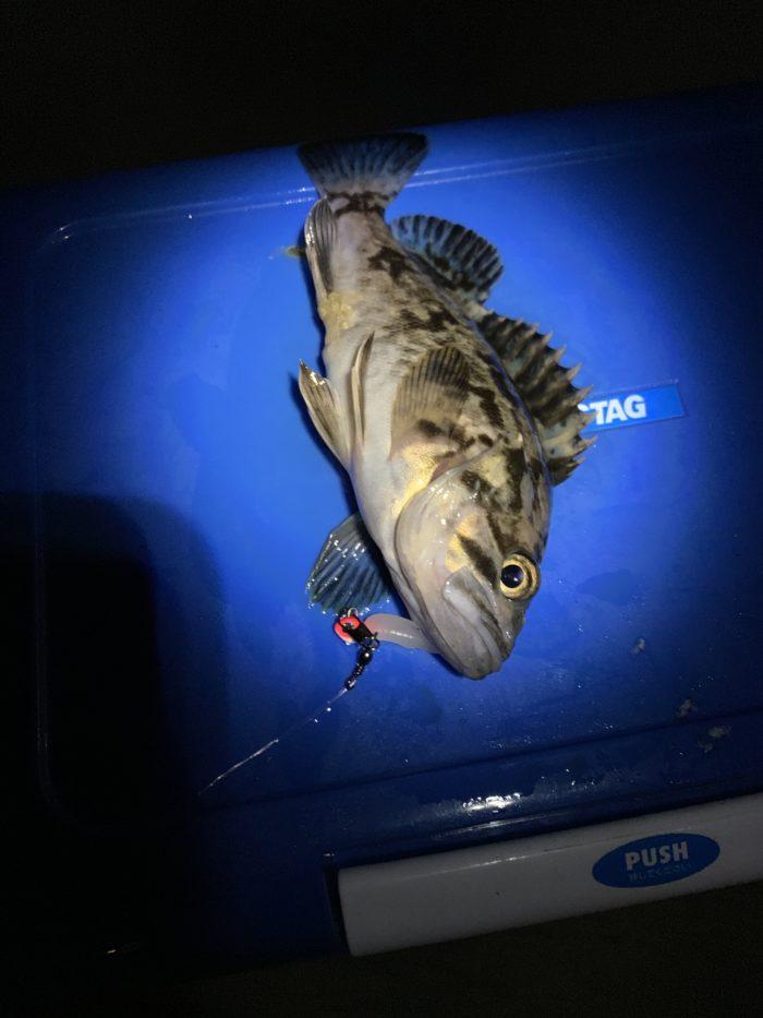 釣り上げたタケノコメバル