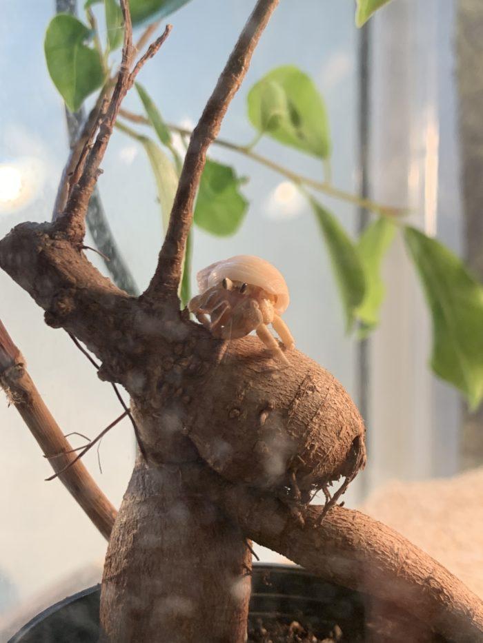 ガジュマルの木に登るオカヤドカリ
