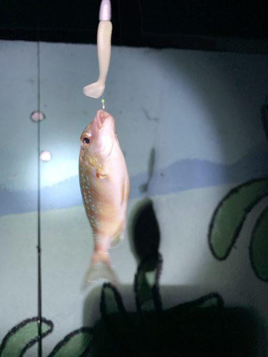 リリースした赤い鯛のような魚