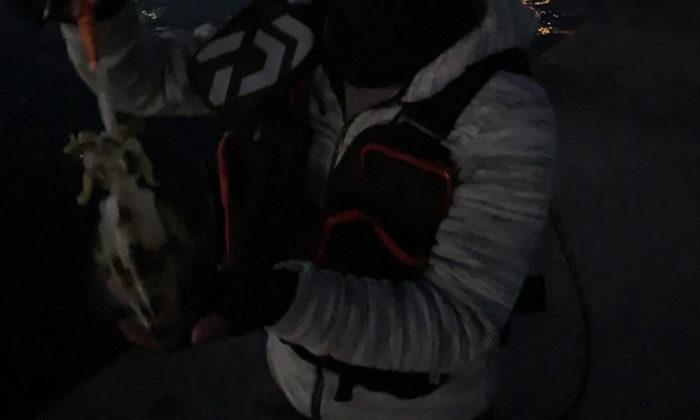 釣り上げたアオリイカ