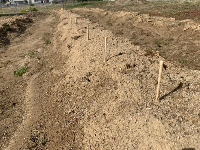 チョロギ栽培7日目 畑に植えた種芋の様子