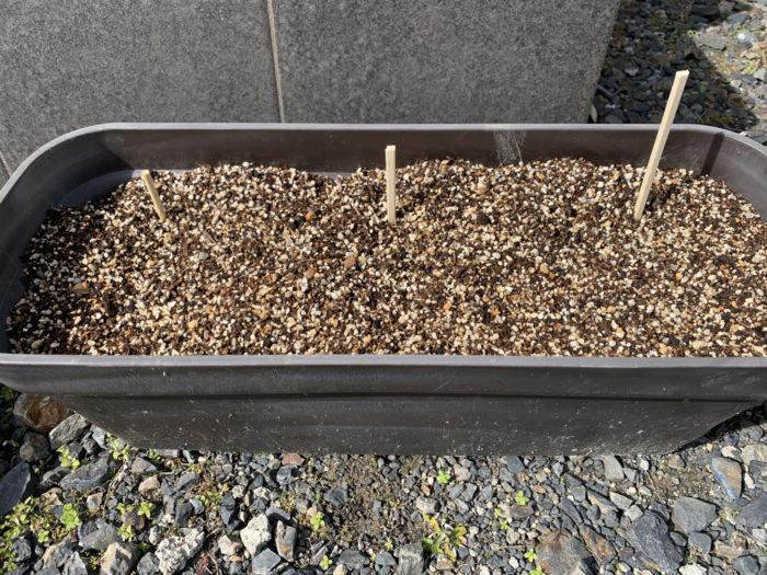 チョロギ栽培7日目 プランターに植えた種芋の様子