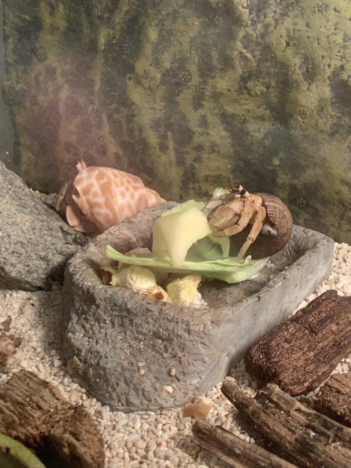 リンゴを食べるオカヤドカリ