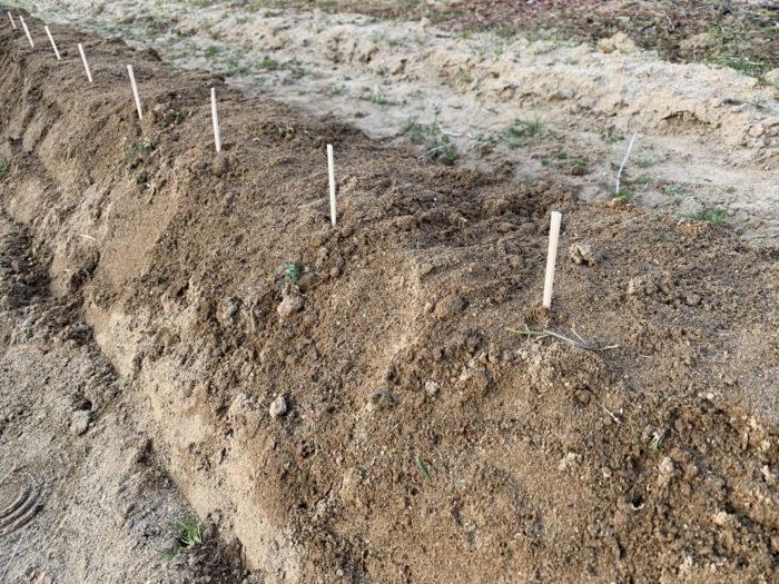 チョロギ栽培 - 植え終わったチョロギの種芋