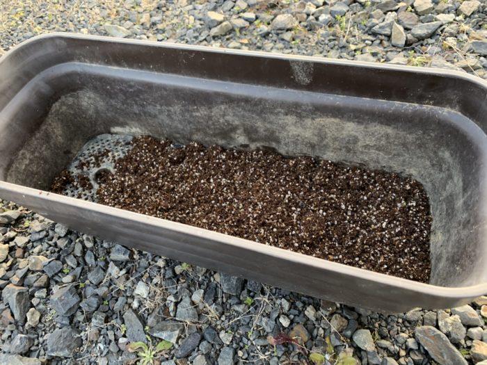 チョロギ栽培 - プランターでチョロギ栽培