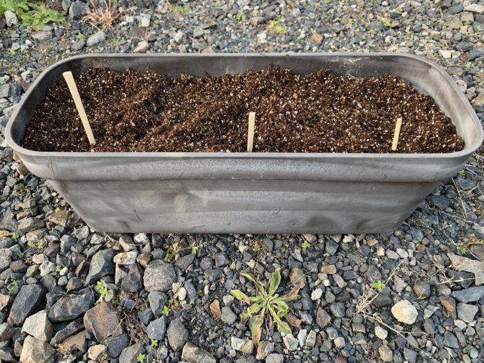 チョロギ栽培 - プランターに種芋をおき、土をかぶせる