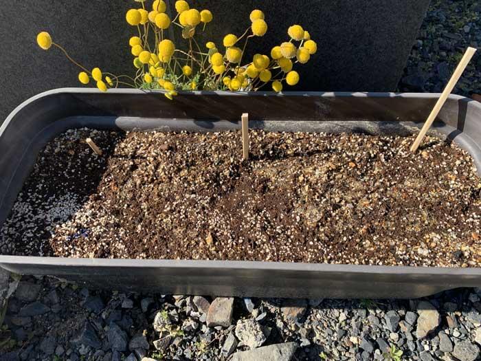 プランターに植えたチョロギの種芋