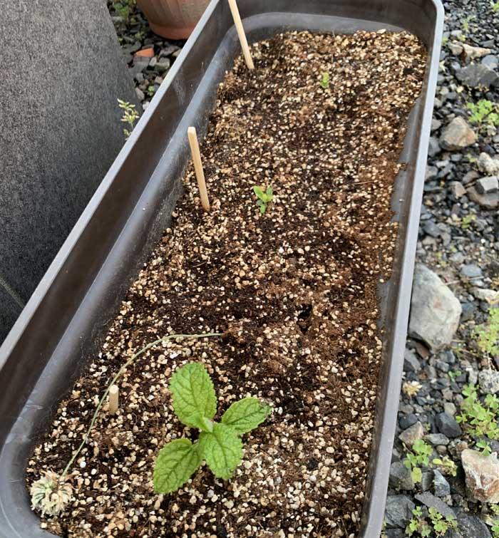 チョロギ栽培60日目:プランターに植えたチョロギの様子