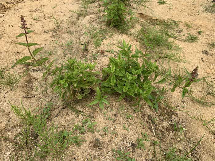 チョロギ栽培120日目:1つの種芋から複数の蕾がなる