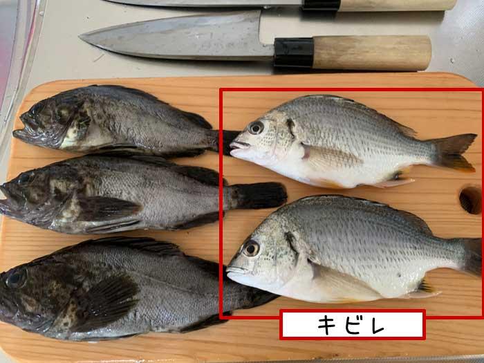 釣ったキビレ(キチヌ)
